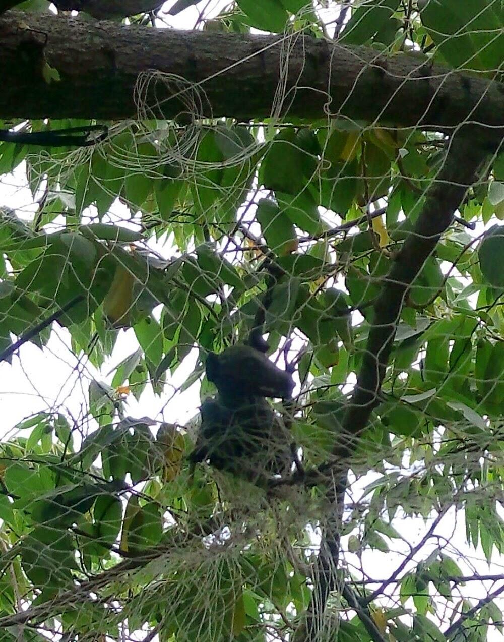 tengkorak kelelawar yang terperangkap pada jaring